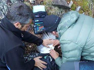 Seguiment via satèl·lit de la població de gall fer als Pirineus
